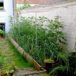 Tomatoes in raised bed