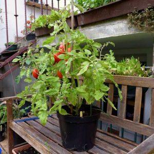 Single tomato pot
