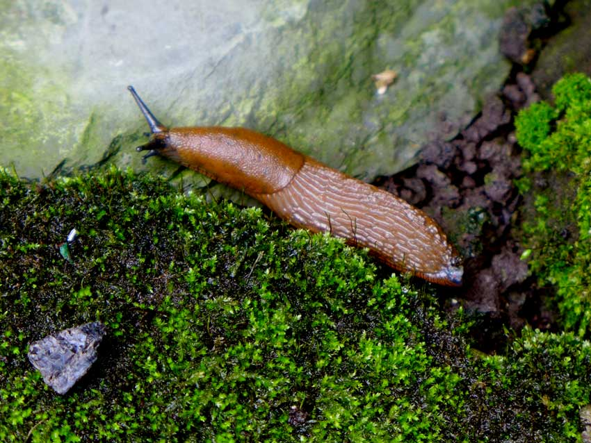 Arion vulgaris (Spanish Slug)