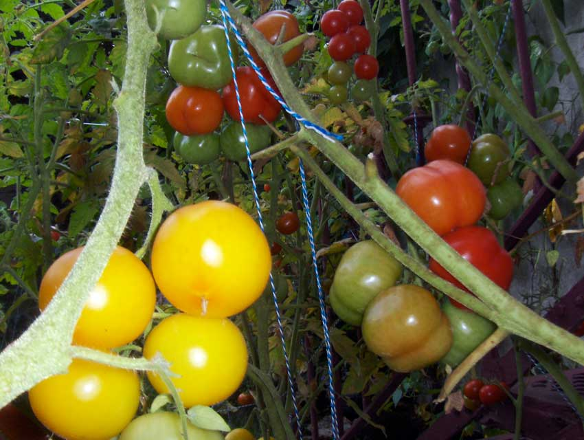 Heirloom tomatoes 01