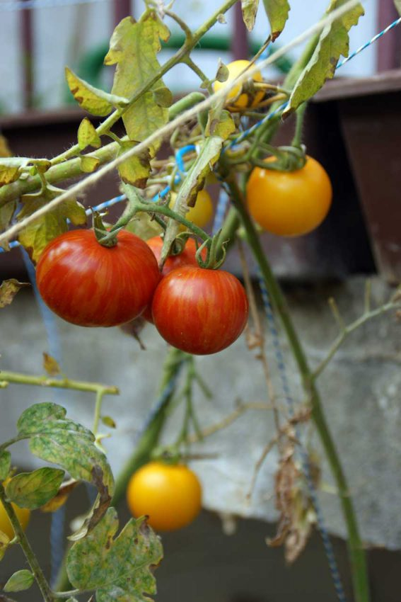 Heirloom tomatoes 02