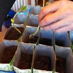 Repotting Beans - Repot