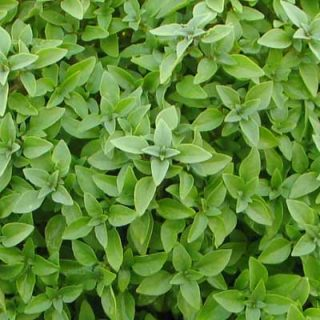 Basil Greek