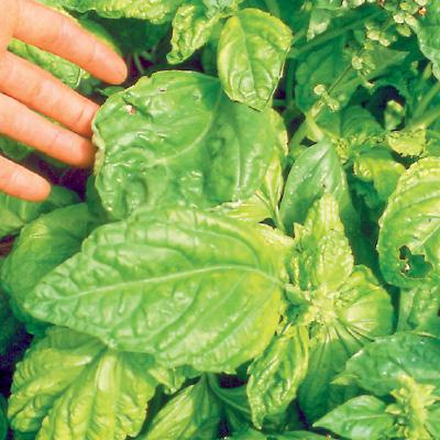 Basil Lettuce Leaved