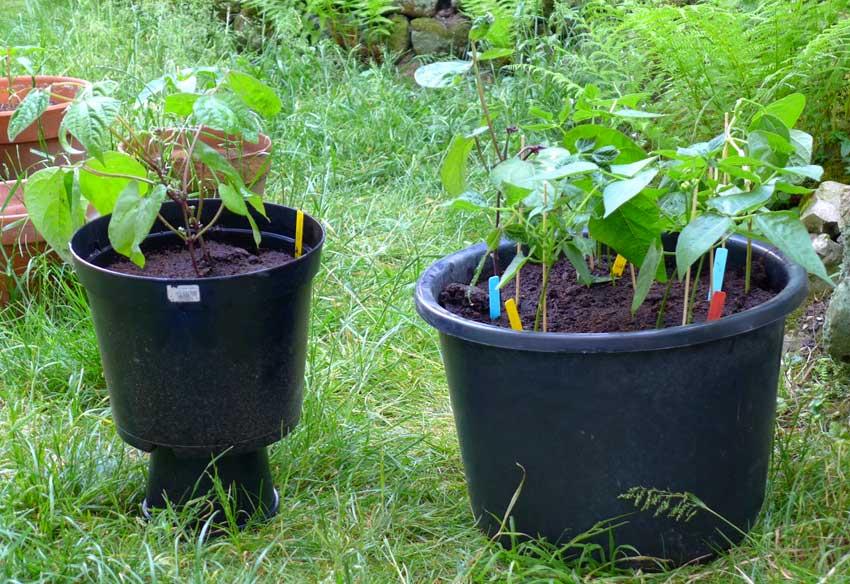 Bean pot gardening