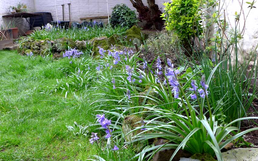 Bluebells are out