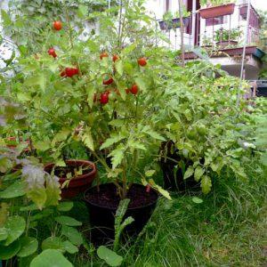 Borghese tomato