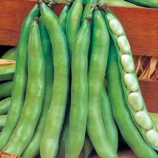 Broad Bean Super Aquadulce