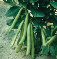 Broad Bean White Windsor