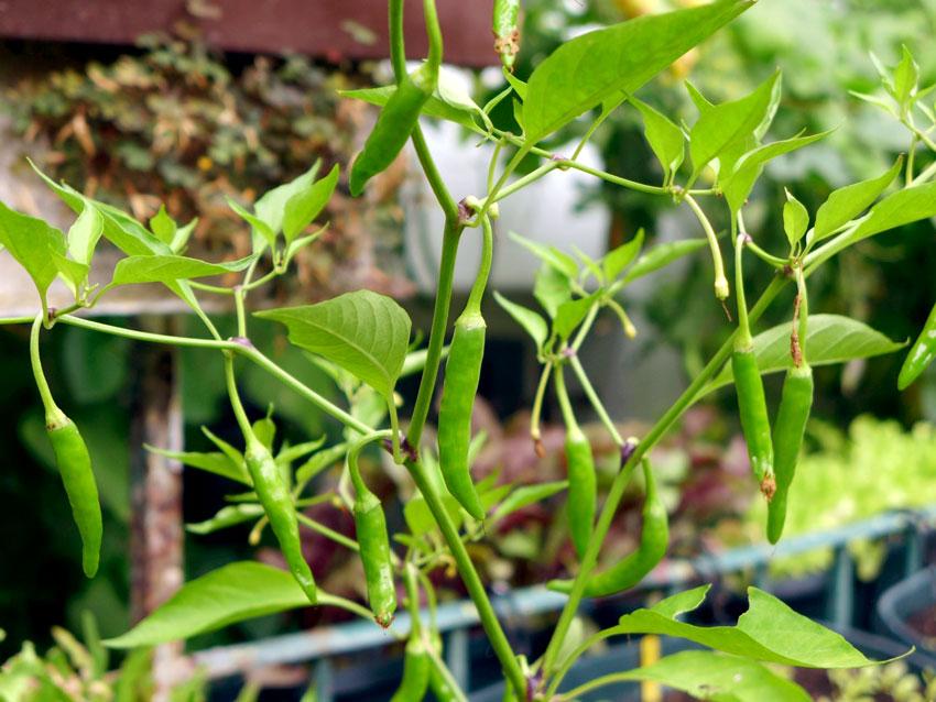 Calcutta chilli pepper
