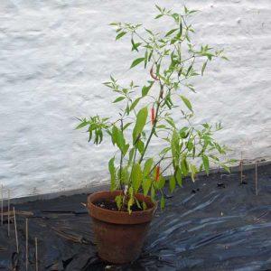 Calcutta plant