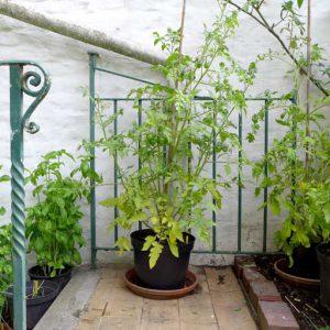 Chadwick Cherry plant