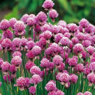 Chives 3 Plants
