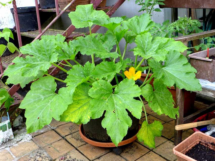 City garden courgette