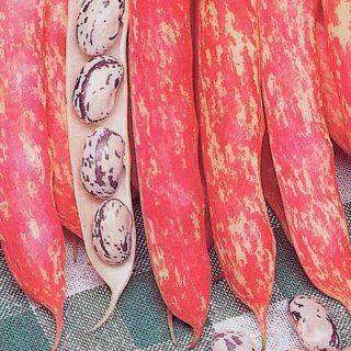 Climbing Bean Barlotta