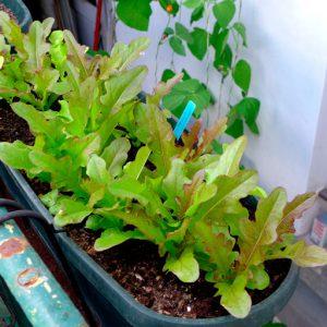 Cocarde lettuce