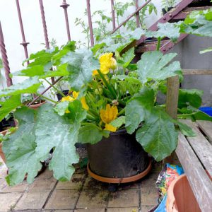 Courgettes in large container