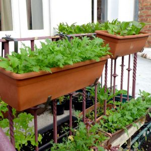 Salad crops in trays