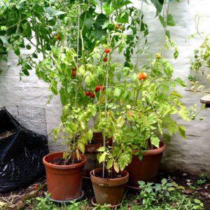 Tomato plants grouping
