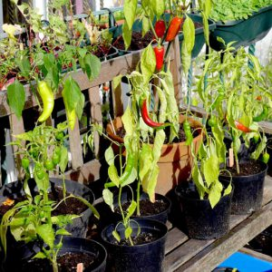 Chilli peppers in pots