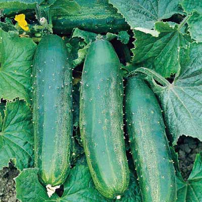 Cucumber Bush Champion