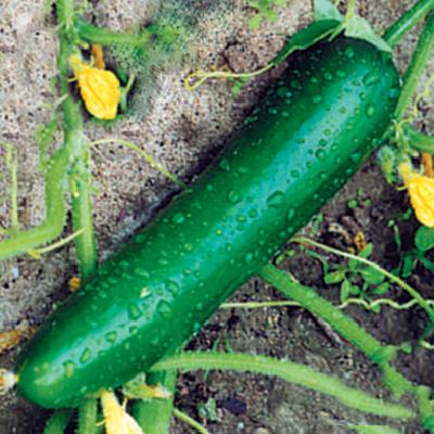 Cucumber Long Maraicher