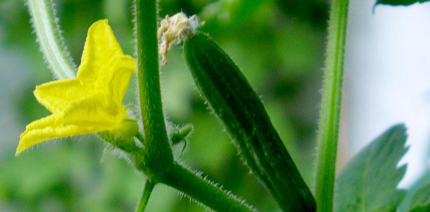 Cucumber season is here