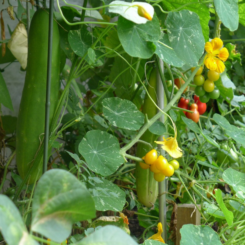 Cucumbers in raised bed