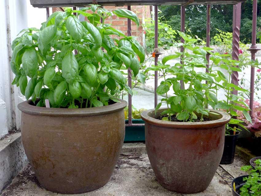 First Basil harvest