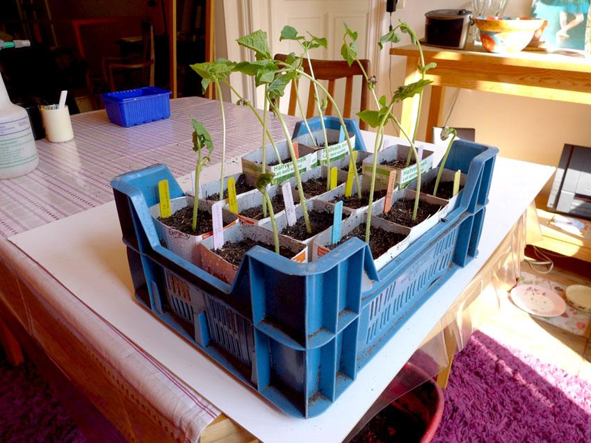 First bean plants