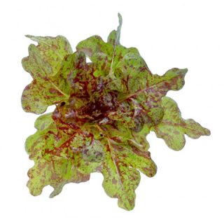 Flashy Butter Oak Lettuce