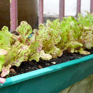 Flashy Butteroak lettuce