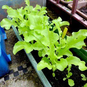 Foglia di Quercia lettuce