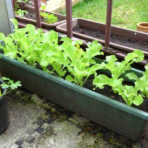 Foglia lettuce – 4 weeks