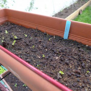Freckles lettuce - 2 weeks