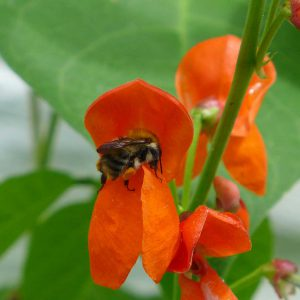 Garden Bees 1