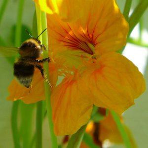 Garden Bees 3