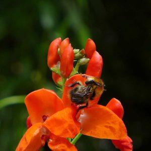 Garden Bees 4