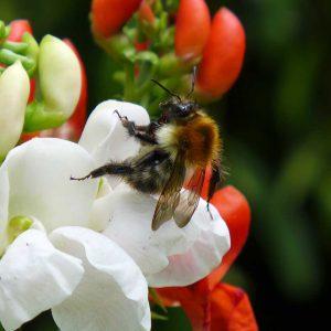 Garden Bees 5