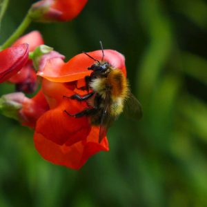 Garden Bees 6