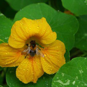 Garden Bees 8