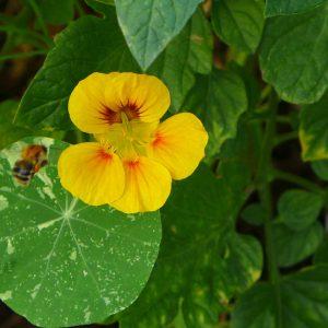 Garden Bees 9