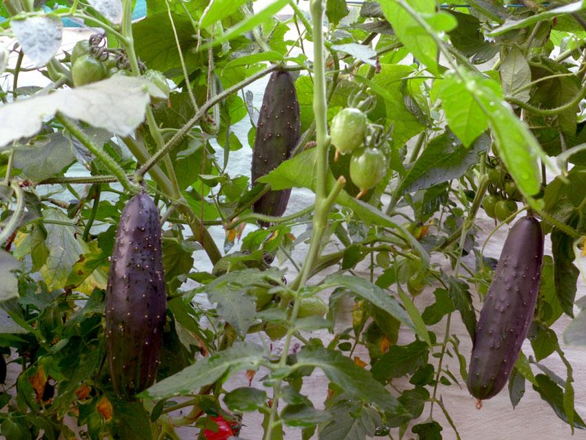 Garden cucumbers