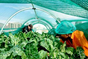 Gardening under shade cloth