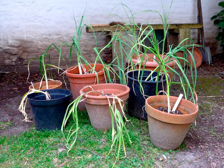 Garlic in pots