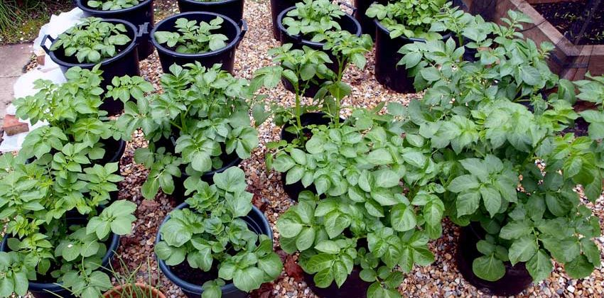 Post: Growing potatoes in containers