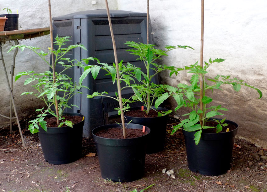 Growing tomatoes in large pots