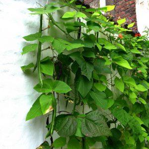 Bean crop against walls