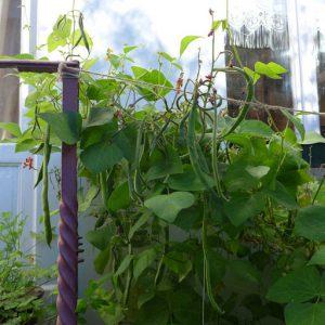 Bean crop on overhead netting