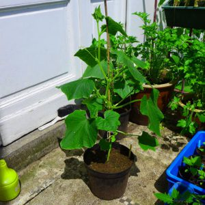 Plants can be grown in pots